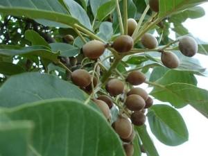 Terminalia bellirica nuts