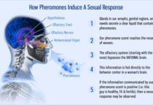 how pheromones work
